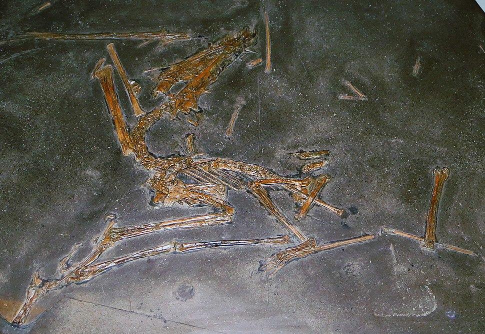 Dorygnathus banthensis Tubingen