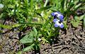 Downingia concolor var. brevior (Cuyamaca Lake downingia) FWS.jpg