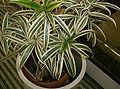 Dracaena reflexaSong of India1.jpg