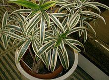 Zimmerpflanze Wikipedia