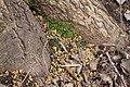 Droppings of siberian flying squirrel 1.jpg