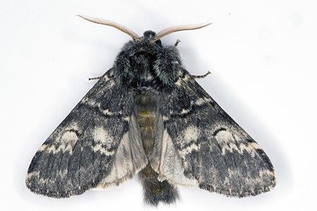 Drymonia ruficornis 02(js), Lodz (Poland).jpg