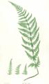 Dryopteris dilatata Moore24.png