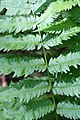 Dryopteris goldiana CR-0953.jpg