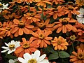 Dwarf Zinnia from Lalbagh flower show Aug 2013 8233.JPG