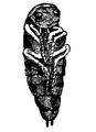 EB 1911 Water Beetles pupa.png