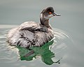 Eared Grebe (non-breeding plumage) (38495311690).jpg