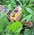 Eastern Box Turtle (Terrapene carolina carolina) - Fairfax - 03.JPG