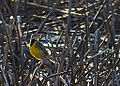 Eastern Meadowlark Glacial Park, Mchenry County IL (6895765296).jpg