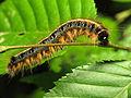 Eastern Tent Caterpillar (14130068159).jpg