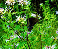 Eastern Tiger Swallowtail (Papilio glaucus) - dark-form of the female (6009870352).jpg