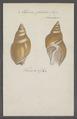 Eburna glabrata - - Print - Iconographia Zoologica - Special Collections University of Amsterdam - UBAINV0274 074 01 0002.tif