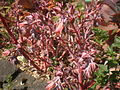 Echeveria gibbiflora 4c.JPG