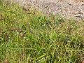 Echinochloa crusgalli (3874037349).jpg