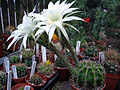 Echinopsis adolfofriedrichii1b.PCJO.jpg