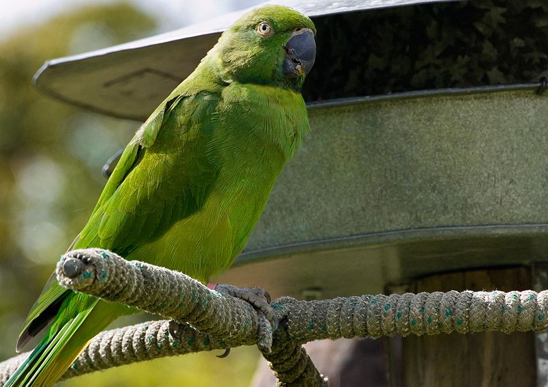 File:Echo parakeet (Psittacula eques echo) -at Durrell Trust.jpg