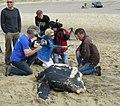 Ecomare - stranding lederschildpad (lederschildpad-2009-rh-01).jpg