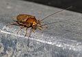 Ectobius pallidus or vittiventris.jpg