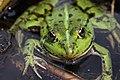 Edible Frog - Rana esculenta - panoramio (10).jpg