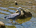 Egretta novaehollandiae -Waikawa Stream estuary, Waikawa Beach, Wellington Region, New Zealand-8.jpg