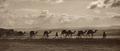 Egyptian camel transport3.tif