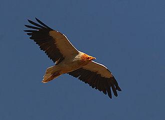 Eagle of Saladin - Egyptian Eagle in flight