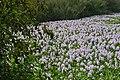 Eichhornia crassipes in Lumbini, Nepal 2.jpg