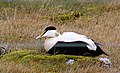 Ejder Common Eider (14341895319).jpg