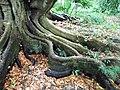 Elaeocarpus decipiens (Ponta Delgada).jpg