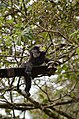 Electrocuted lion-tailed macaque infant in Valparai DSC 2594.jpg