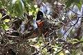 Elegant Trogon (male) Ft Huachuca AZ 2018-05-15 13-34-17 (47052412644).jpg