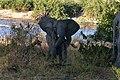 Elephant, Ruaha National Park (32) (28647549011).jpg