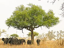 Cameroon-Geography-Elephants around tree in Waza, Cameroon