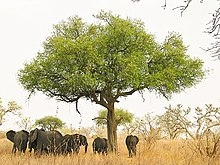 Elephants around tree in Waza, Cameroon.jpg