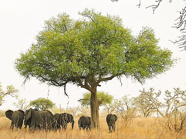Elephants in Waza National Park. Elephants around tree in Waza, Cameroon.jpg