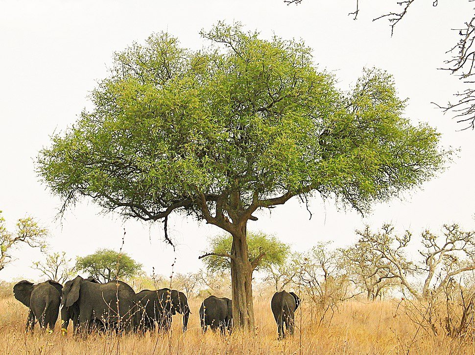 Elephants around tree in Waza, Cameroon