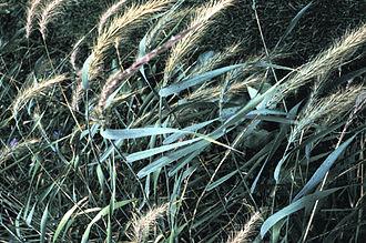 Elymus (plant) - Elymus canadensis