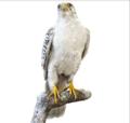 En jaktfalk (Falco rusticolus) som ble innsamlet på Grønland og gitt i gave til museet av Fridtjof Nansen (1888.png