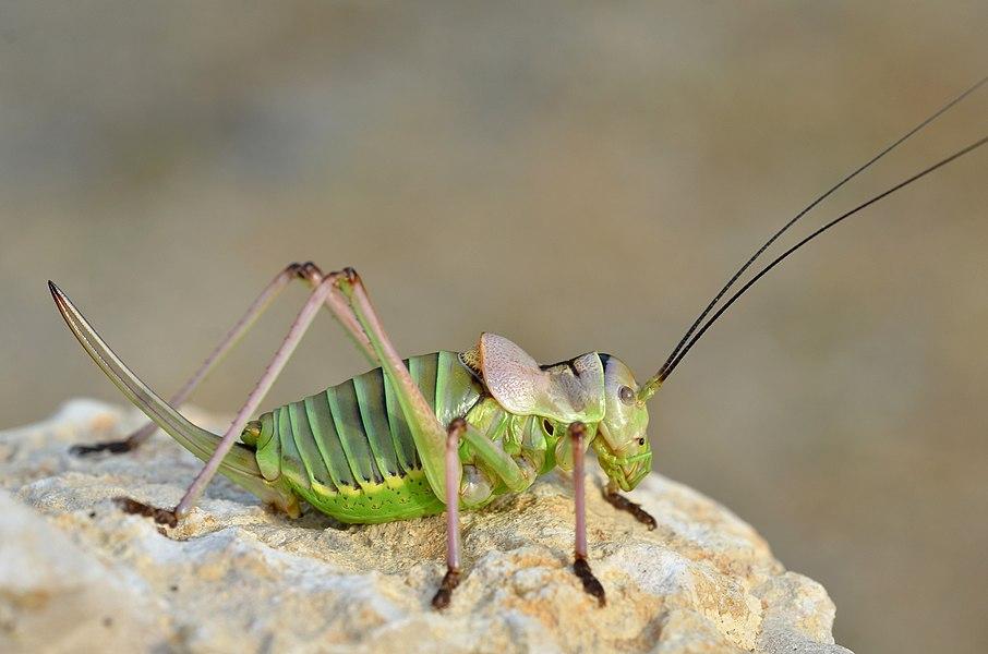 Ephippiger diurnus female