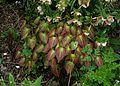 Epimedium alpinum - Flickr - peganum.jpg