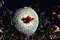 Epithelantha micromeris - Button cactus with fruit.jpg