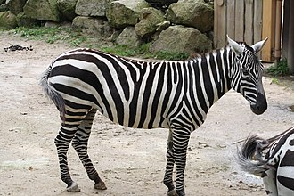 Maneless zebra - Maneless zebra (Equus quagga borensis) in Liberec Zoo