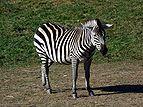 Equus quagga granti - Opole1.jpg