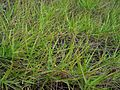 Eragrostis atropioides (4798330952).jpg