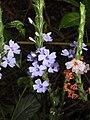 Eranthemum roseum Raan Aboli by Raju Kasambe DSCN3680 (8).jpg