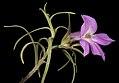 Eremophila spectabilis subsp. brevis - Flickr - Kevin Thiele (1).jpg