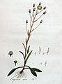 Erigoron acre — Flora Batava — Volume v4.jpg