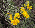 Eriophyllum confertiflorum 2004-04-07.jpg