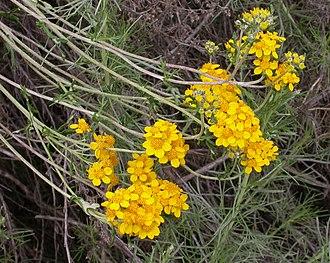 Eriophyllum confertiflorum - Image: Eriophyllum confertiflorum 2004 04 07