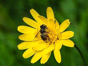 Eristalis tenax - Drone fly on Meadow Salsify (Tragopogon pratensis)